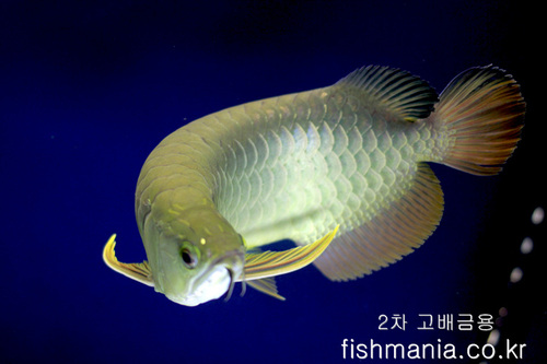 고배금용(HIGH BACK AROWANA)